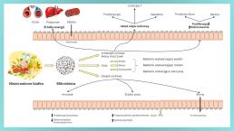 Białko pokarmowe, jego metabolity i mechanizm homeostazy jelit