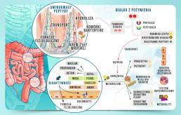 Białko w przewodzie pokarmowym